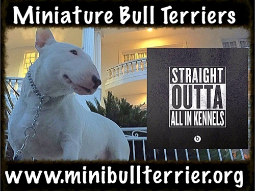 Miniature Bull Terriers