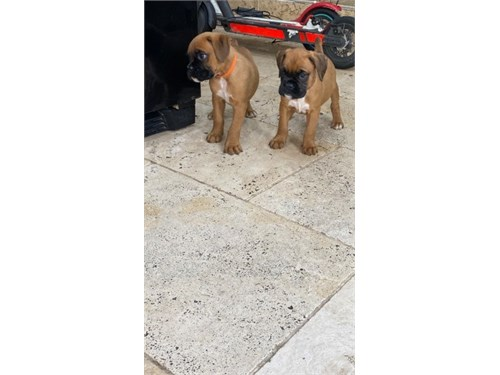 Chunky  Boxer Puppies