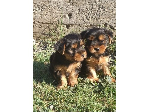 Sweet teacup yorky pups