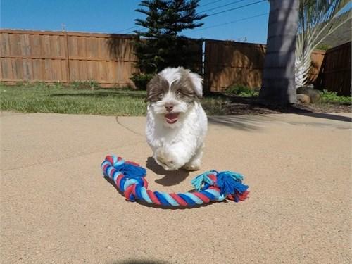 Male Havanese Puppy!!!