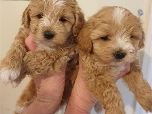 Gorgeous Malti-poo babies