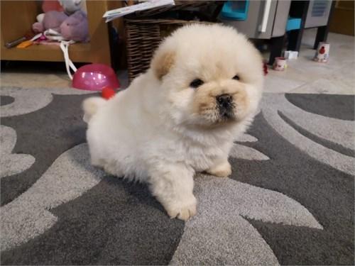 Chow Chow Adoption