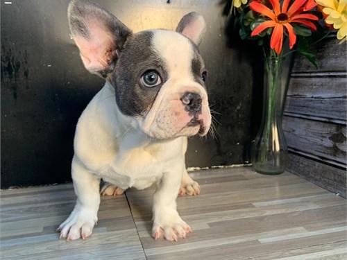 Blue Pied French Bulldog