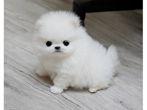 tiny Teacup Pomeranian