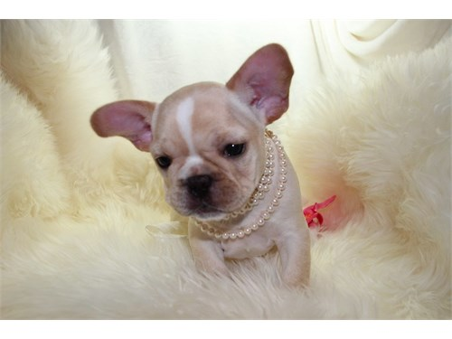 Cute Frenchie Baby