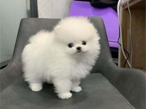 pomeranian pups available