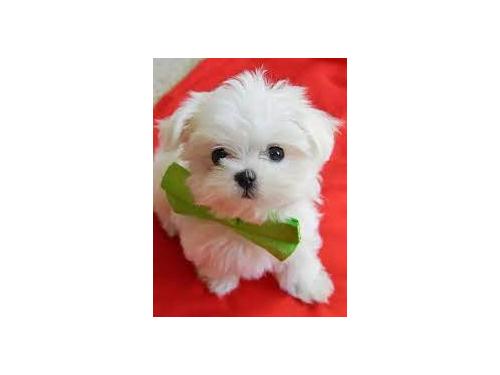 Fabulous Ck Maltese Pups