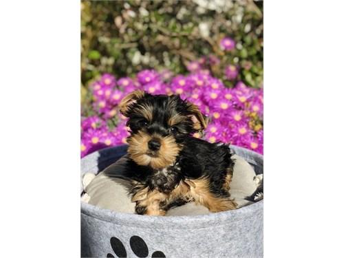 Yorkshire Terrier, Buddy