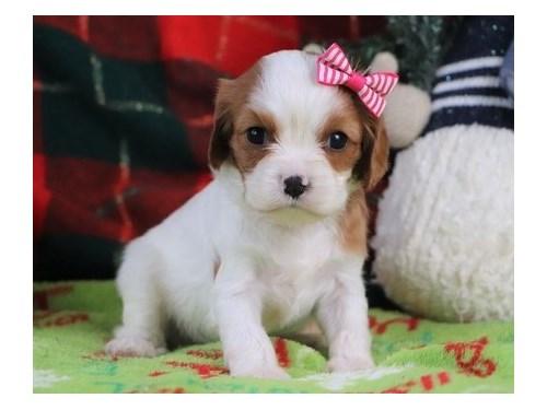 Teddy Bear Cavapoo Pups