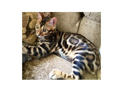 Bengal kitten 949-9291699