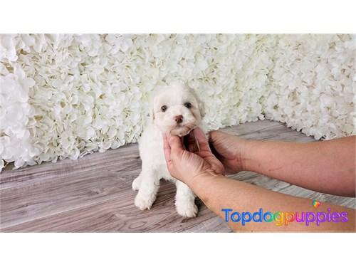 Bichon poo puppy
