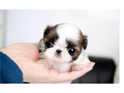 Mini ShihTzu Pups