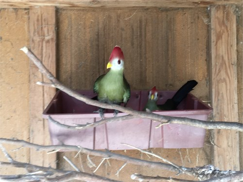 Red creasted turaco