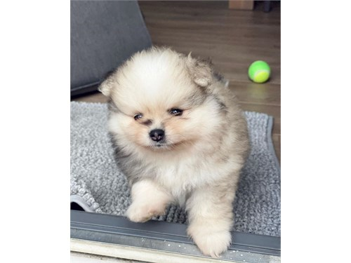 Cute Pomeranian puppy ava
