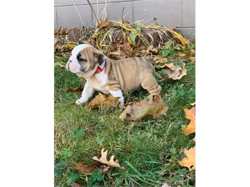 Dany English Bulldog pups