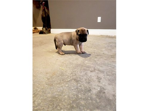 Dadu Bullmastiff puppies