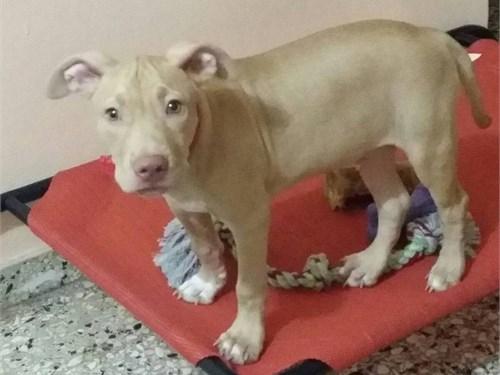rednose pitbull puppy
