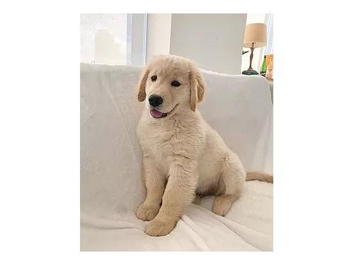 Healthy golden puppies