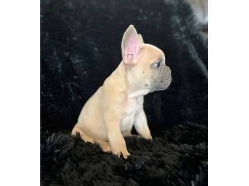 french bulldog puppies -