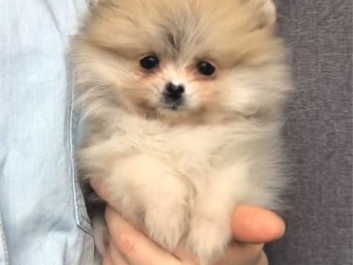 Super cute Pomeranian Pup