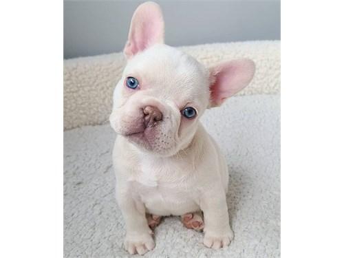 Amazing Bulldog Puppies