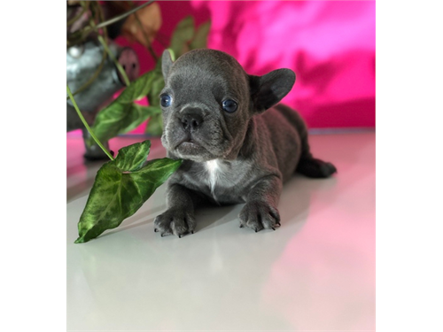 French Bulldog rehoming