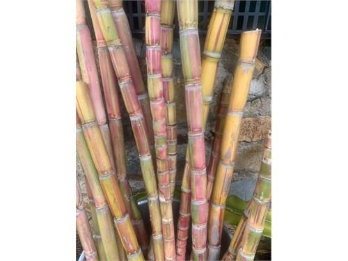 Rainbow Sugar Cane Plant