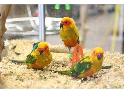 Young Sun Conure birds
