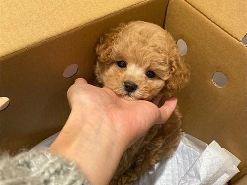 $^Vaccination Poodle Pups