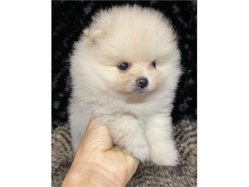 Pure pom puppies