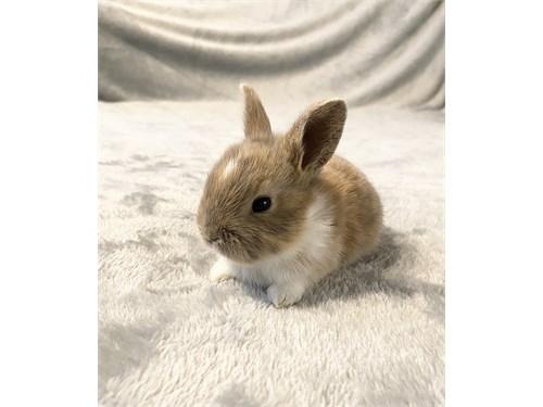 dwarf bunnies, bunny.