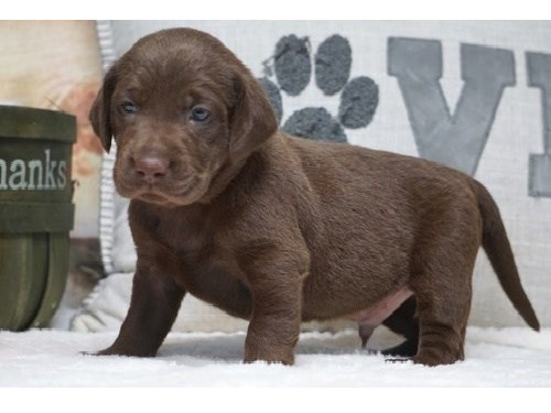 Great Labrador pups