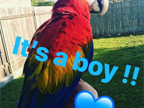 Adorable Scarlet macaw