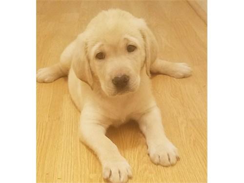 Lab Pups-Full AKC Reg.