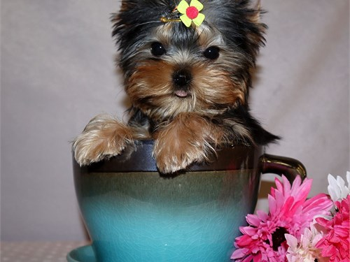 Yorkie girl Blueberry
