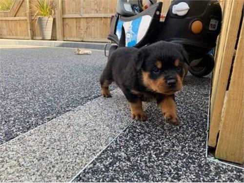adorable rott puppi