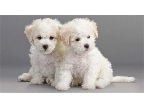 Amazing Bichon Frise pups
