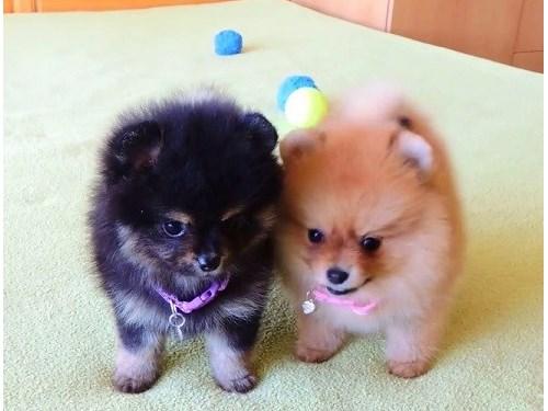 Tiny Pomeranian Pups