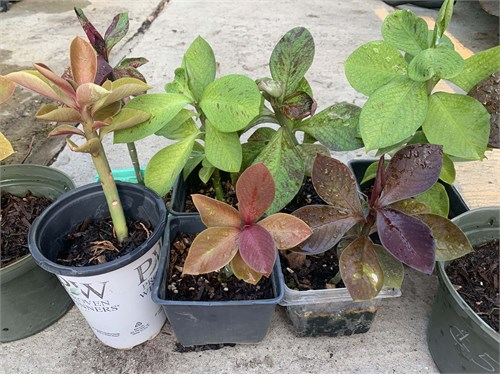 Colorful Euphorbia