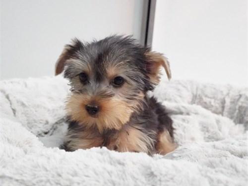 Yorkshire Terrier, Girl