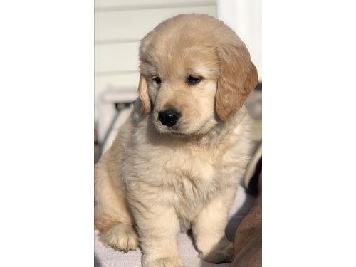 Purebred golden puppies