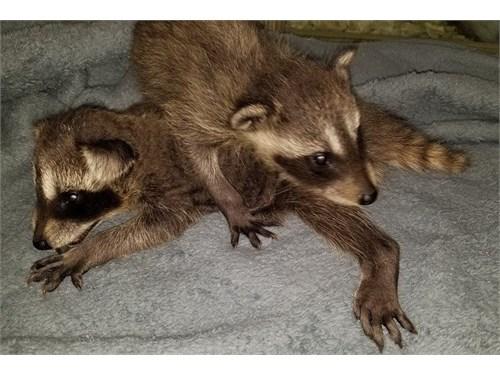 Raccoons, FINANCING