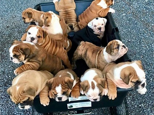 M/F English Bulldog Pups