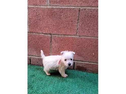 Westie pups for sale