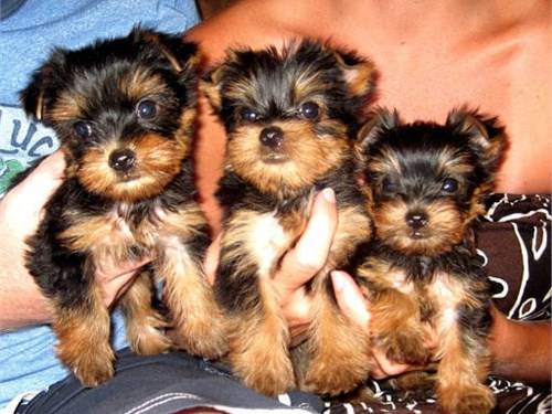 Awesome T-Cup Yorkie