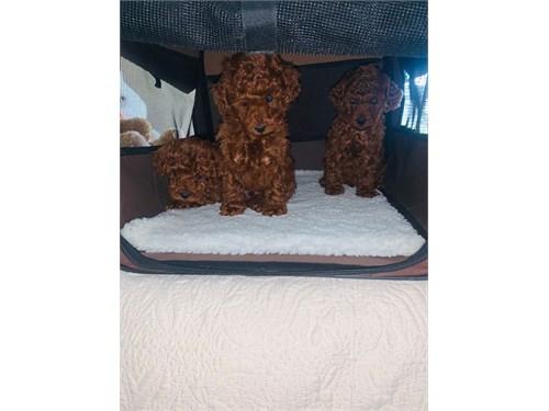 Teacup Toy Poo-dle Pups
