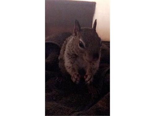 Male Squirrel for Sale