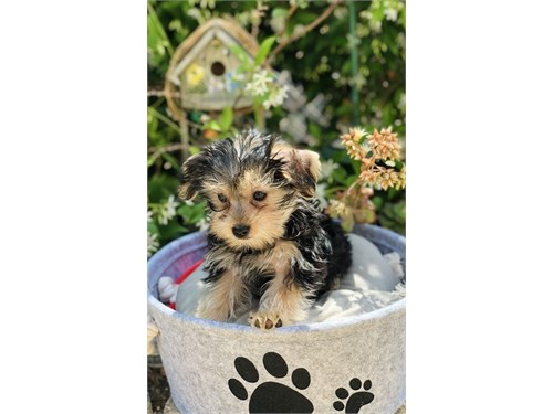 Morkie -Yorkshire Terrier