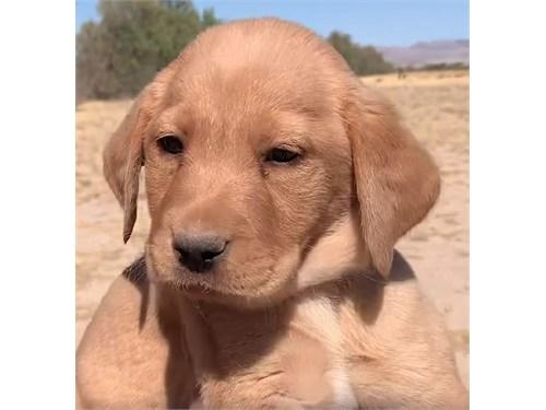 AKC Labrador Puppy Woody