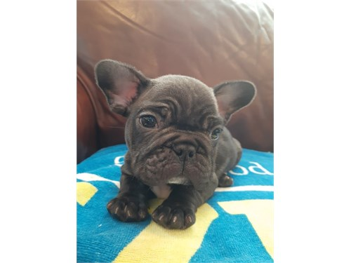 Cute Mini Frenchie Puppy!